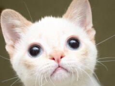 Eddie, gatto affetto da ipoplasia cerebellare
