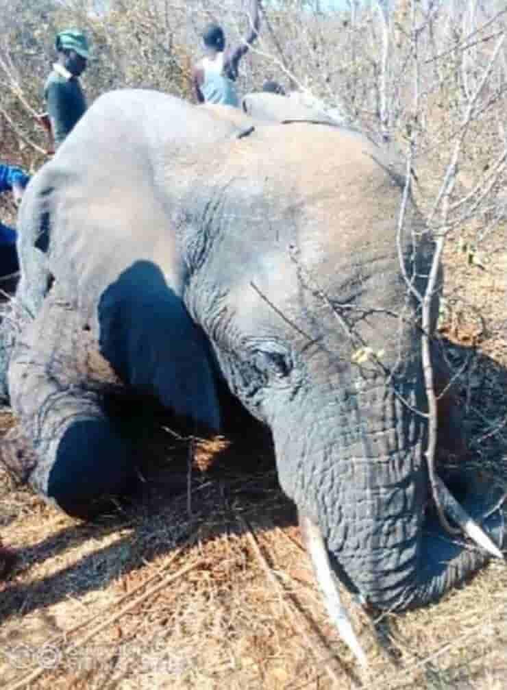 Elefante ucciso dai ranger (Screen Twitter)