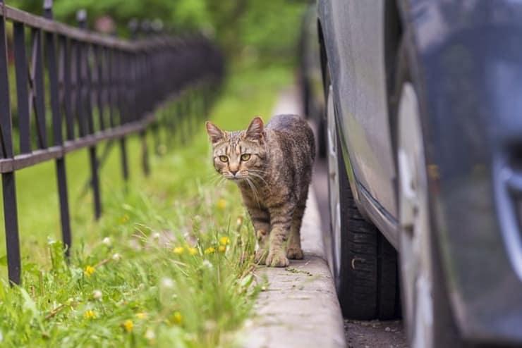 Gatta vicino auto (Foto Pixabay)