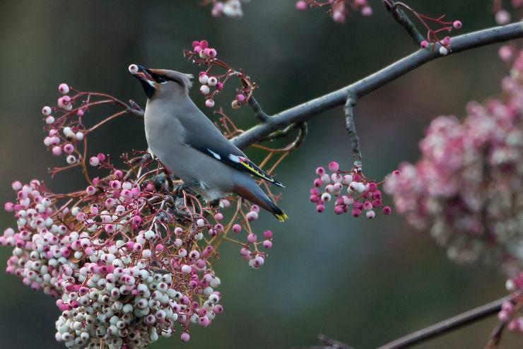 Uccello Bombycilla