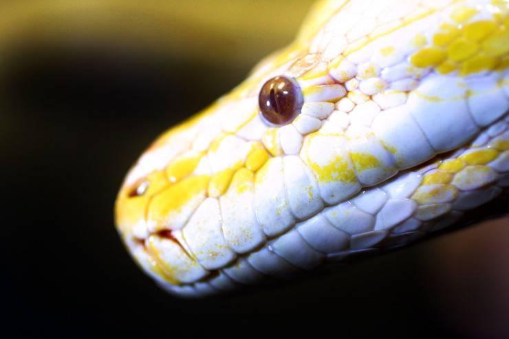 Il pitone albino