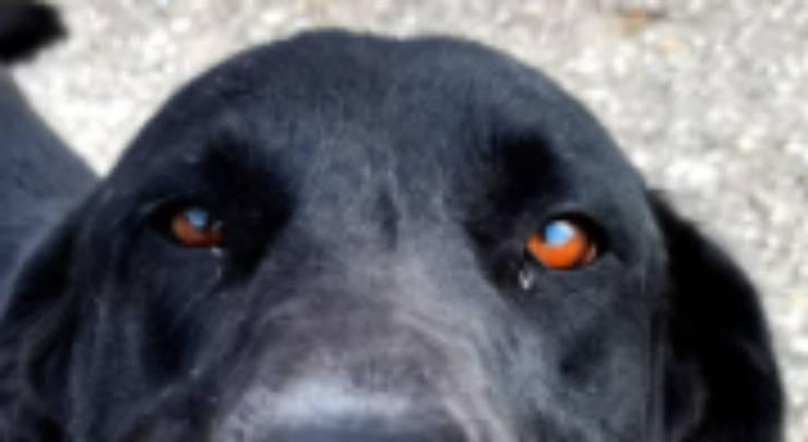 Gli occhi color ambra della cagnolina