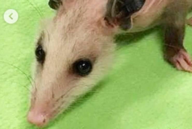 Il muso dell'opossum tratto in salvo