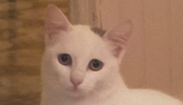 La micia bianca con la macchia grigia