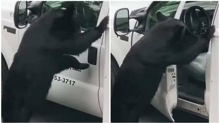 Orso apre sportello furgoncino (Screen video)