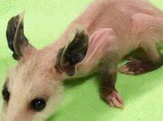 Peach opossum senza pelo