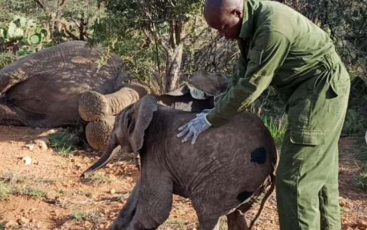 Volontario aiuta l'elefante