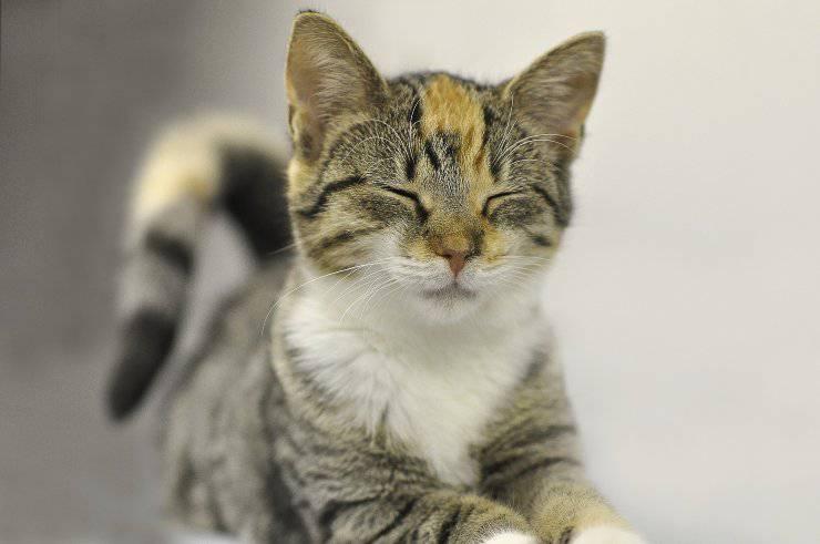 Ghiandole perianali infiammate del gatto
