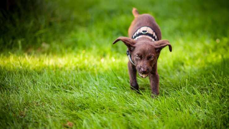 avvelenamento da fertilizzante nel cane