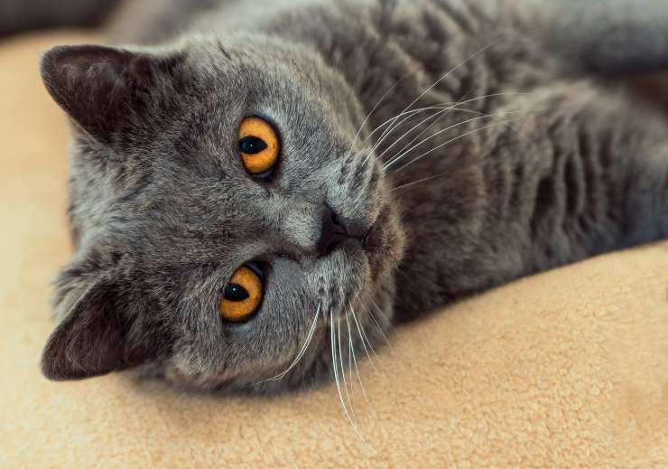 Perché il gatto strofina la mascella