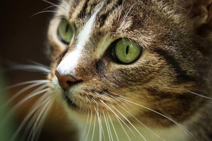 Come si chiamano i baffi del gatto