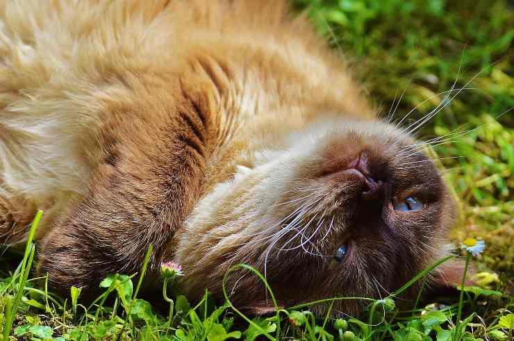 Felino steso nell'erba