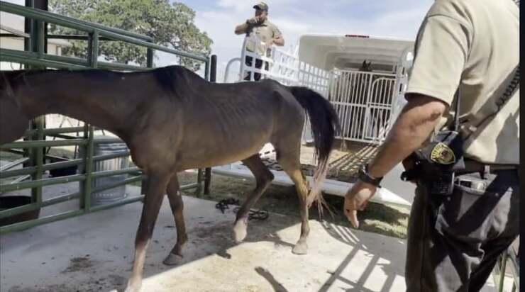 Uomo arrestato per 10 capi d'accusa ha maltrattato e abbandonato i suoi cavalli (Screen Video)