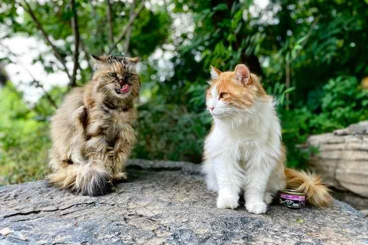 Razze feline che amano il giardino