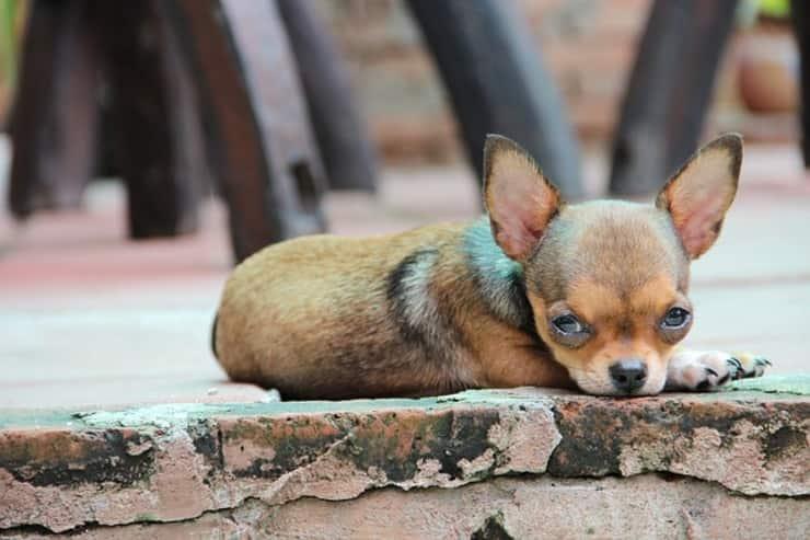 chihuahua accoltellato all'addome (Foto Pixabay)