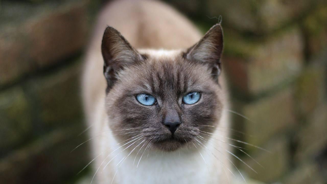 cura gatto thai