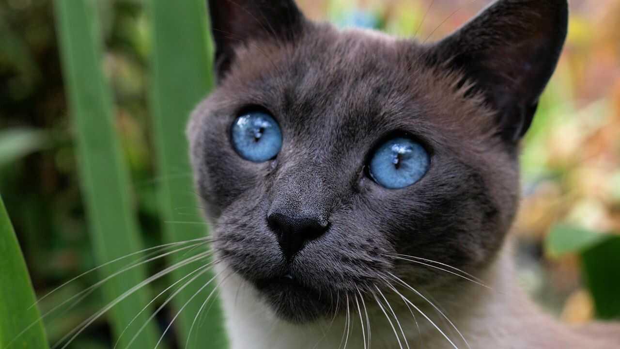 curiosità gatto thai