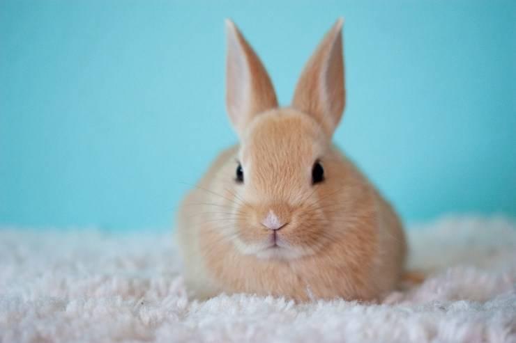 Diabete mellito nel coniglio