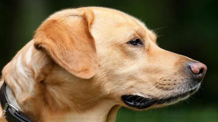 cane preoccupato (Foto Pixabay)