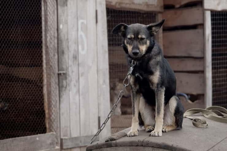 cane a catena (Foto Pixabay)