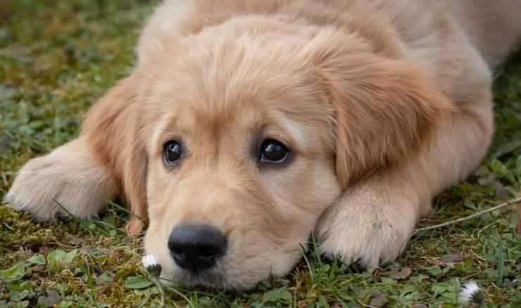 Cucciolo di Golden Retriever (Foto Pixabay)