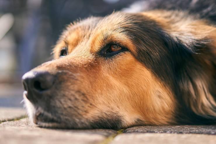 Distimia del cane anziano