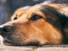 Il cane anziano e la distimia