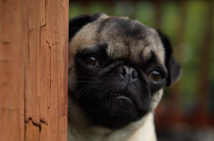 cagnolino spaventato (foto Pixabay)