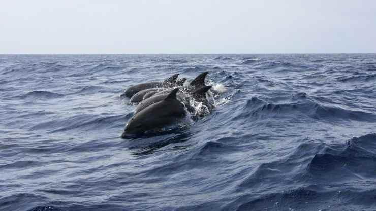 Brando di delfini (Foto Pixabay)