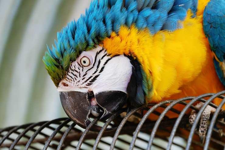 Come insegnare al pappagallo a non beccare