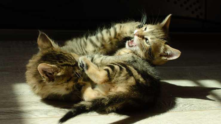evitare lotte tra gatti
