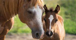 Il cavallo e il morbo coitale maligno
