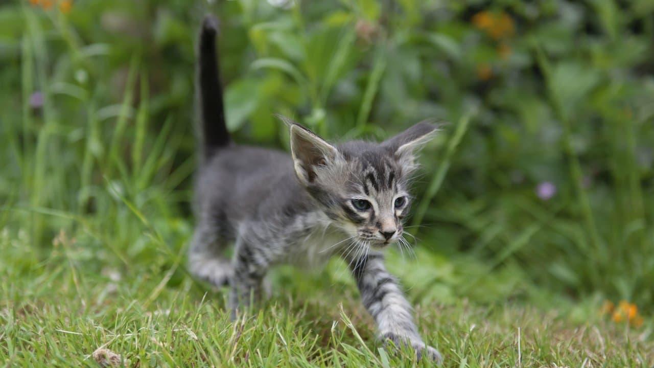 malattie comuni gatto giavanese (1)