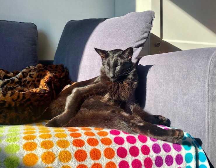 gatto-giavanese