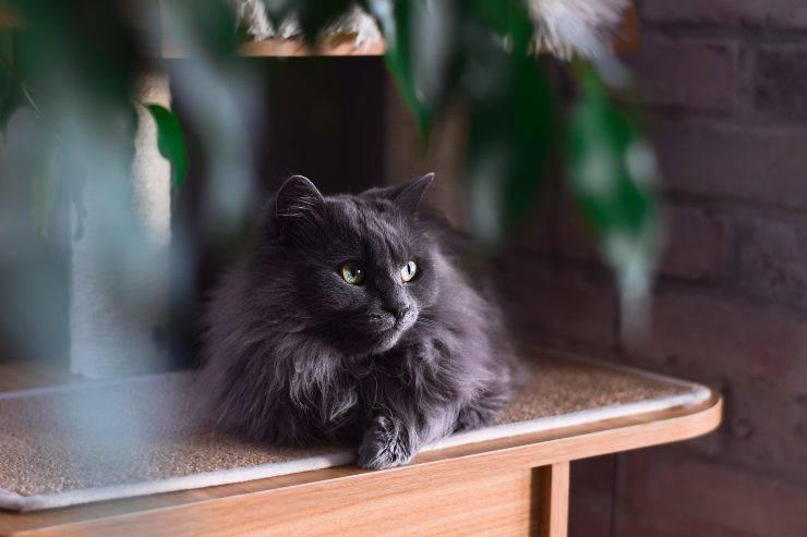 gatto tiffany (