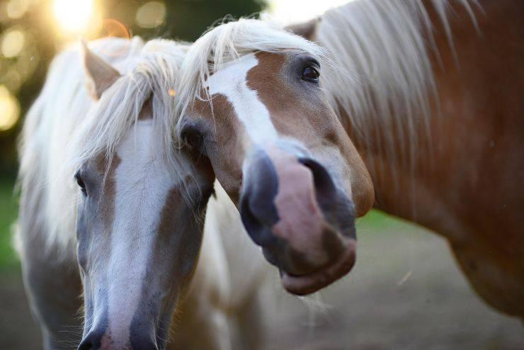 Come pensano i cavalli