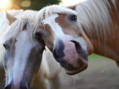 I cavalli e il loro pensiero