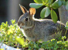 i versi del coniglio