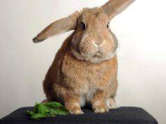 il coniglio può mangiare il basilico