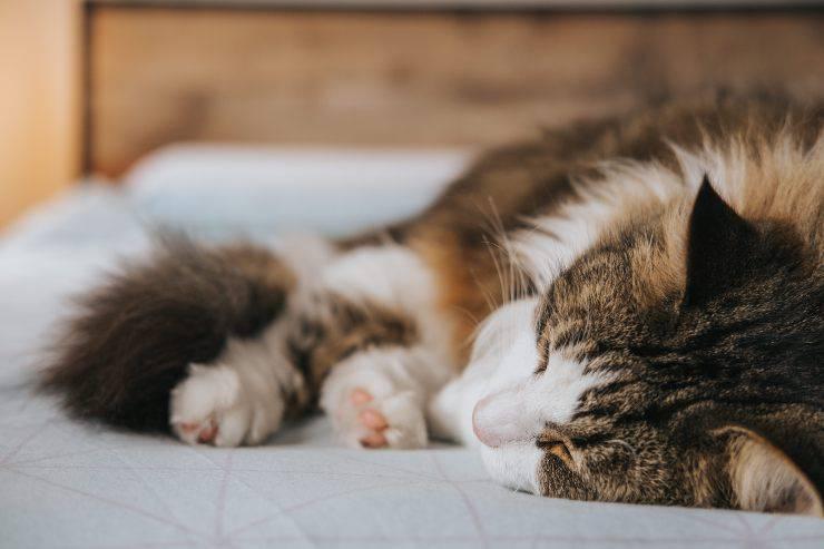Sindrome da intestino irritabile nel felino