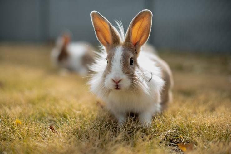 Il diabete mellito del coniglio