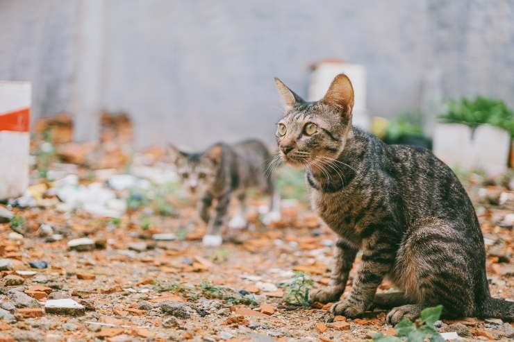 Razze feline che sono spesso rapite