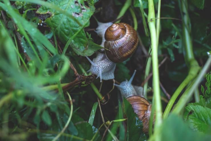 Le lumache e la loro riproduzione