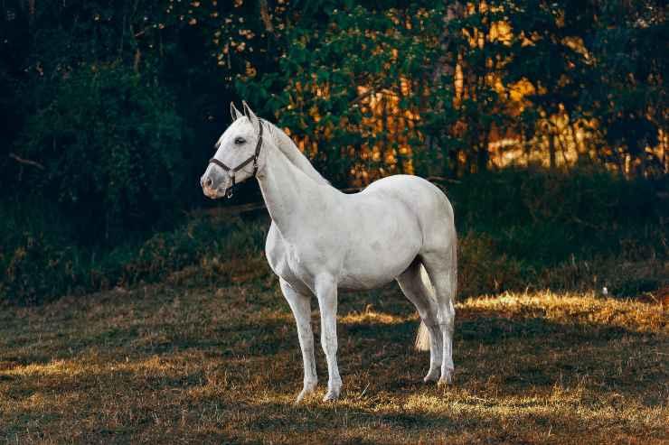 Il morbo coitale maligno del cavallo