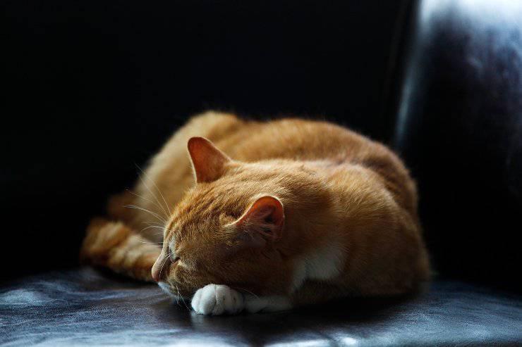 La panleucopenia felina