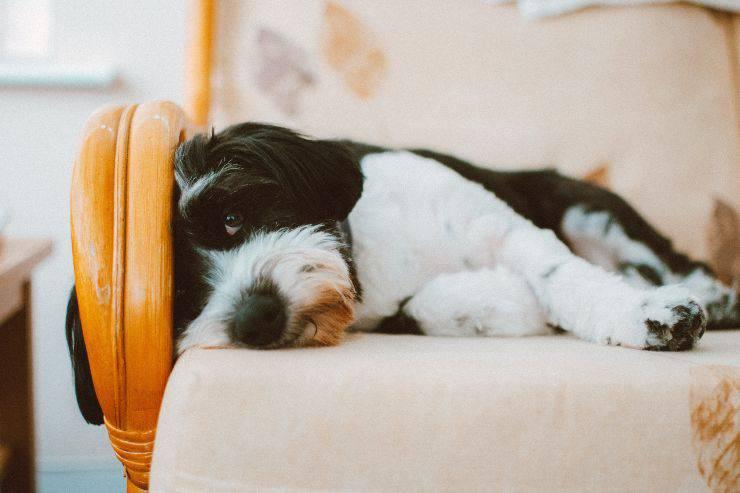 I reumatismi del cane