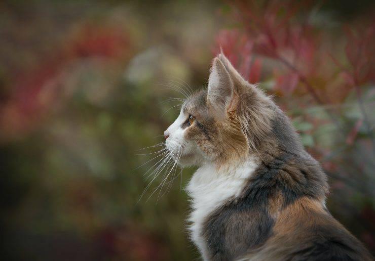 Razze feline tranquille in vacanza