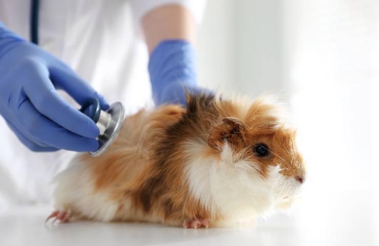 porcellino d'India dal veterinario