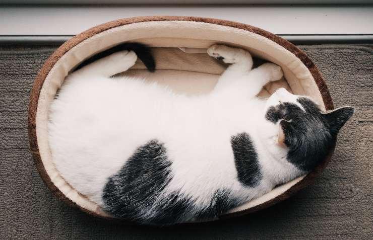 Il gatto e la patologia all'intestino
