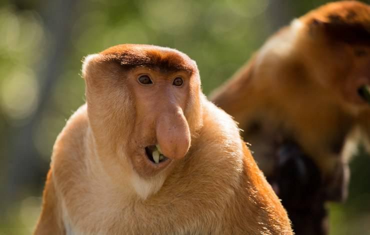 scimmia nasica